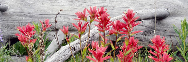 Indian Paintbrush at Cavell Meadows